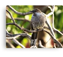 Brush, or Little, Wattlebird Canvas Print