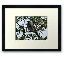 Brush, or Little, Wattlebird Framed Print