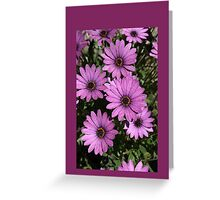 Purple Daisies/ Purple Background Greeting Card Greeting Card
