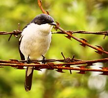 The Fiscal Flycatcher flew onto the fence by Graeme Mockler