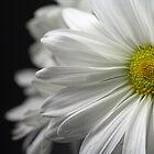 White Daisy Closeup by MindyLinford