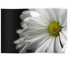 White Daisy Closeup Poster