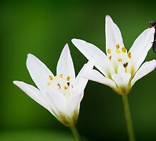 Lady bug on white flower by Chris Brunton
