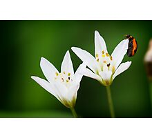 Lady bug on white flower Photographic Print
