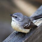 Grey Fantail by mncphotography