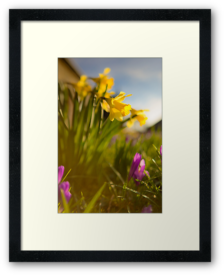 Spring Daffodils  by Rob Sutherland