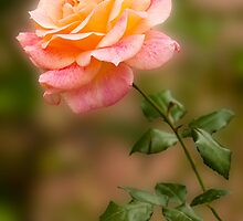 Rose by BGSPhoto