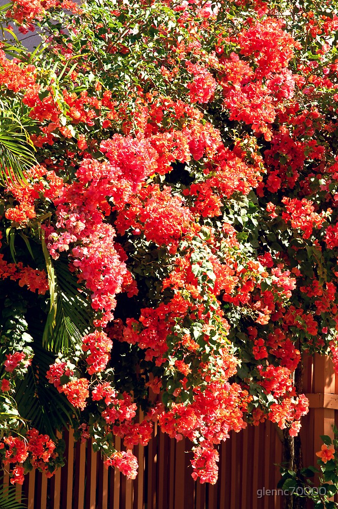 Orange Bougainvillea  by glennc70000