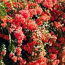Orange Bougainvillea  by Glenn Cecero
