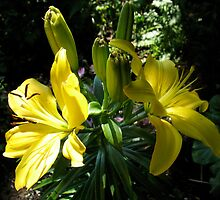 Lilies in the shade by MarianBendeth
