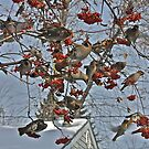 Cedar Waxwing Feast by Linda Bianic