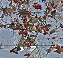 Cedar Waxwing Feast by Linda Bianic