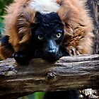 Red Ruffed Lemur by Jill Hyland