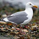 Gull On the Beach (KeyPort WA) by Robbie Knight