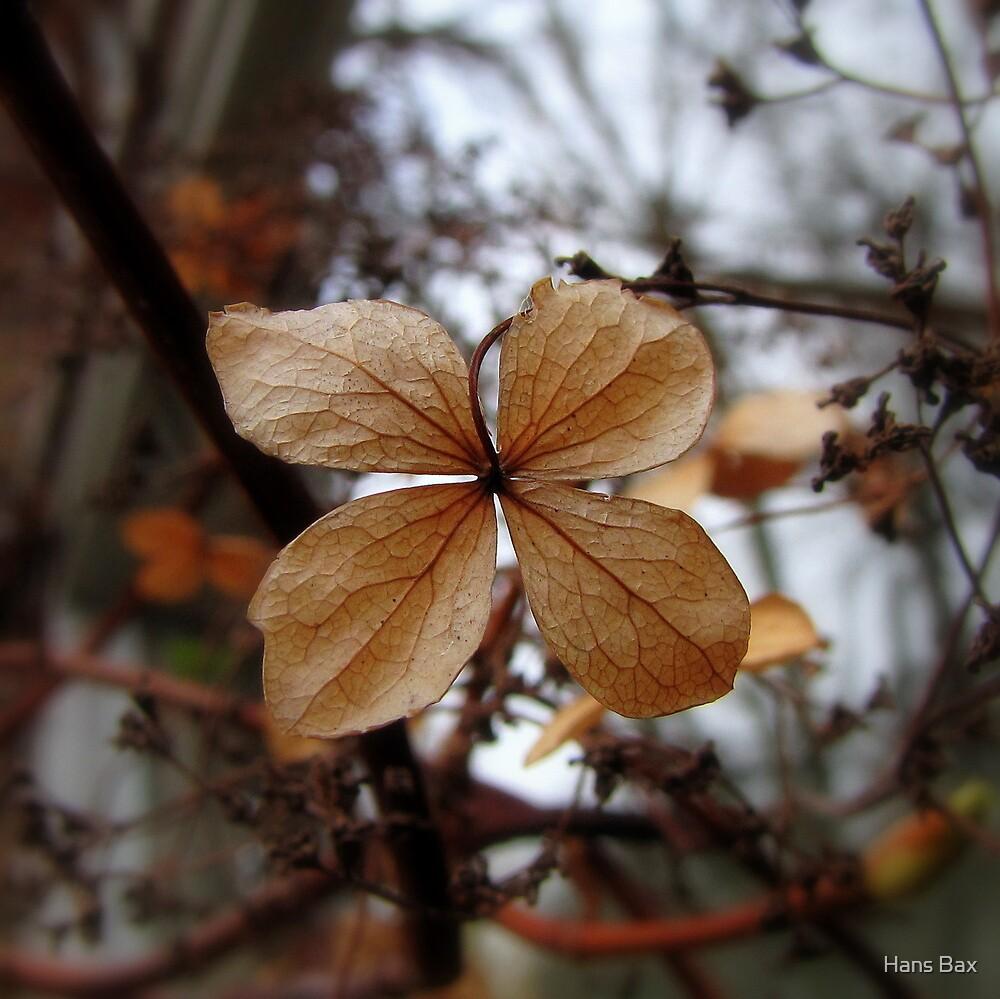 Hydrangea Petiolaris - Klimhortensia by Hans Bax