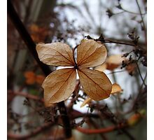 Hydrangea Petiolaris - Klimhortensia Photographic Print