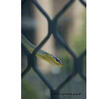 Smiling Green Tree Snake © Vicki Ferrari Photographic Print