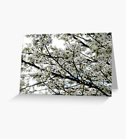 Pear Blossoms in Bloom Greeting Card