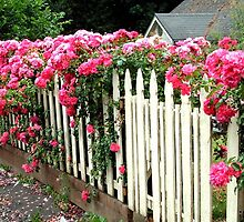 Roses and a picket fence by Marjorie Wallace