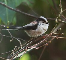 Soft an' cuddly!  Long tailed tit. by Rivendell7