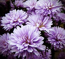 Purple Haze Chrysanthemums by MotherNature