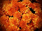 Toasted Orange Chrysanthemums by MotherNature