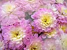 Pink With Yellow Tones Chrysanthemums by MotherNature
