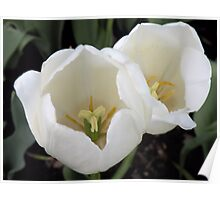Two White Tulips Poster