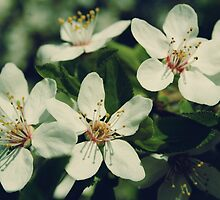 White Cherry Blossom by cycreation