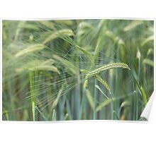 Individual barley in a field detail Poster