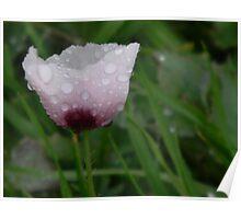New Discovery - Wild Opium Poppy!~  Poster