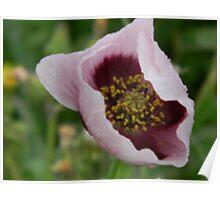 Inside the Opium Poppy! Poster