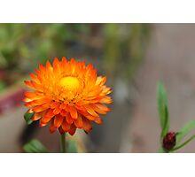 Bright Orange Straw Flower Photographic Print