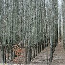 Rows and Rows and Rows and Rows of Trees by barnsis