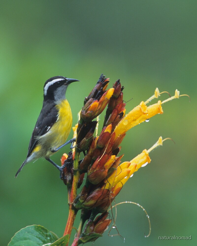 Bananaquit by naturalnomad