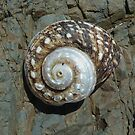 Old shell 1 by Antonia  Valentine
