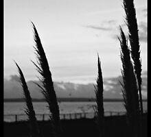 Reeds at Dusk by ZimboFilipe