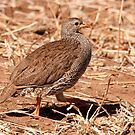 Natal Francolin, Kruger National Park, South Africa by Erik Schlogl