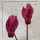 The beauty of cyclamen flowers by  Pauline Wherrell