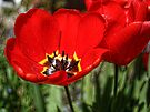 Red Tulips by lynn carter