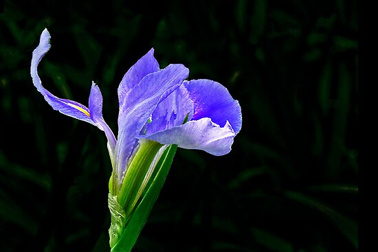Iris Dance by cclaude