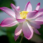 Lotus Blooms 2 by Rainy