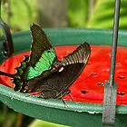 Butterfly - Green - Banded Swallowtail by AmandaJanePhoto