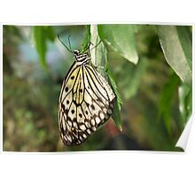 Butterfly - Tree Nymph Poster