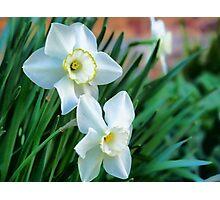 Elegant Daffodils Photographic Print