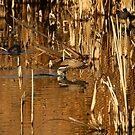 Northern Pintail Drake. by mikepemberton