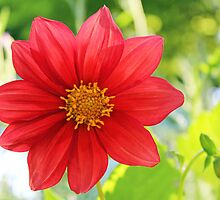 Translucent red dahlia in late afternoon light by mightymite