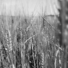 Black and White Wheat by evergleammm