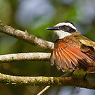 Great Kiskadee - Arenal Region, Costa Rica by Stephen Stephen