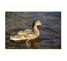 Mallard Duck Art Decor Art Print